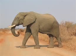 Seperti halnya gajah, hewan-hewan besar memiliki luas telapak kaki yang cenderung lebar.